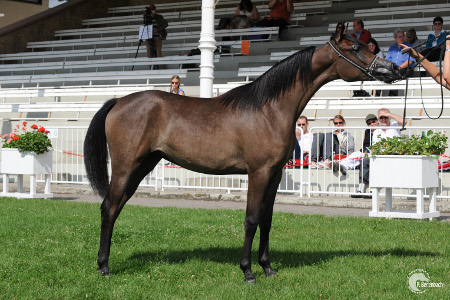 Maraa (Vergil x Kadiah) and now mare of RTA Mistral <br> (photo: (P. Berlenbach/IN THE FOCUS)