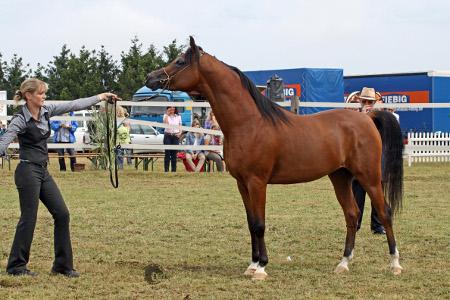 Sire of our new stallion: Kalif OS (Marajj x Khaleifa) <br>(photo: B. Finke/IN THE FOCUS)